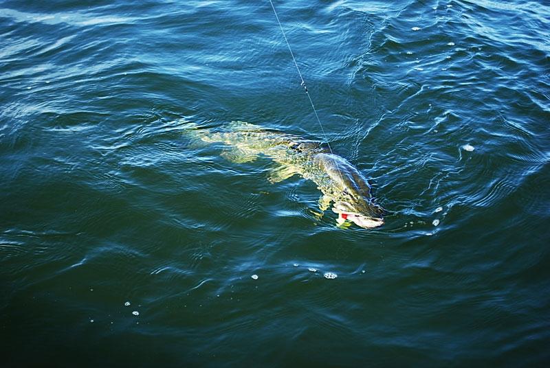 hol-a - szczupak - www.przewodnicywedkarscy.pl - wyprawy na ryby.jpg