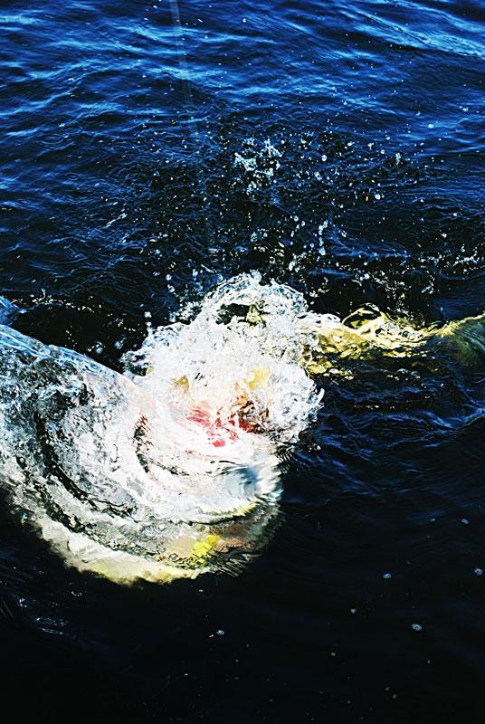 hol - szczupak - www.przewodnicywedkarscy.pl - wyprawy na ryby.jpg