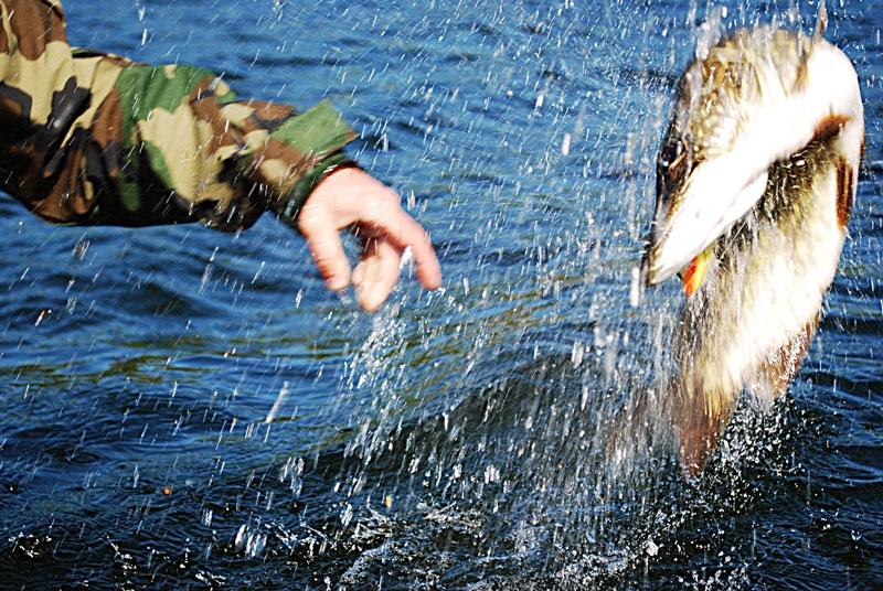 skok-a -- szczupak - www.przewodnicywedkarscy.pl - wyprawy na ryby.jpg