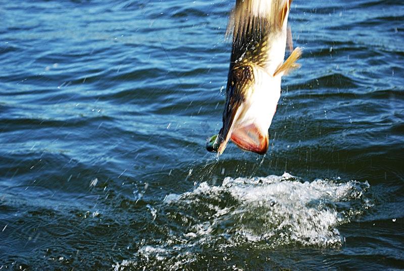 skok - szczupak - www.przewodnicywedkarscy.pl - wyprawy na ryby.jpg