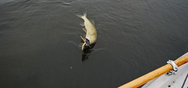 szczupak-na-slidera - szczupak - www.przewodnicywedkarscy.pl - wyprawy na ryby.jpg