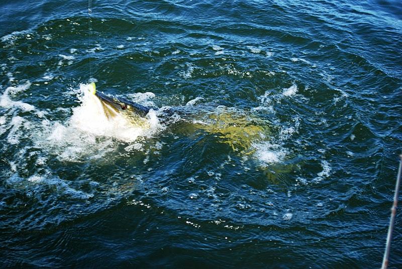 szczuply -- szczupak - www.przewodnicywedkarscy.pl - wyprawy na ryby.jpg