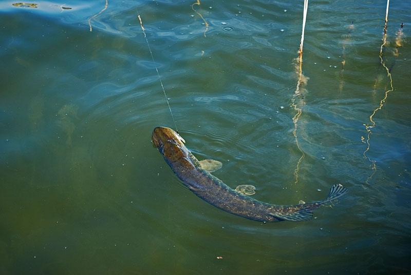w-wodzie - szczupak - www.przewodnicywedkarscy.pl - wyprawy na ryby.jpg