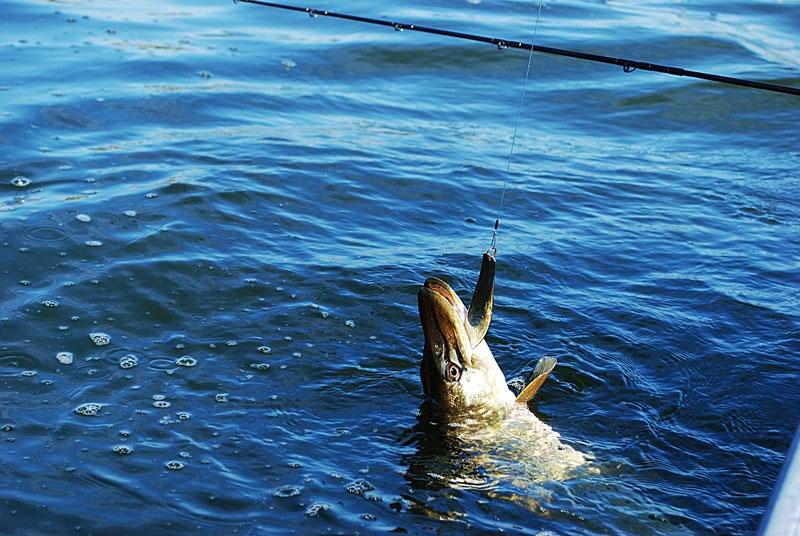 wahadlo.jpg - szczupak - www.przewodnicywedkarscy.pl - wyprawy na ryby.jpg