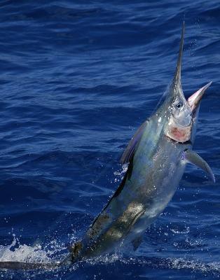 Marlin - Kostaryka - www.przewodnicywedkarscy.pl - Wyprawy na ryby