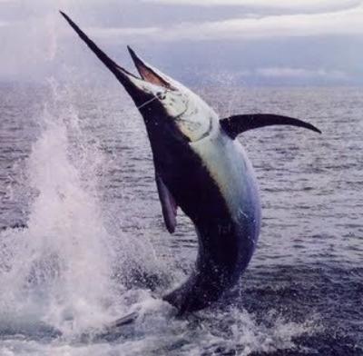 Wielki Marlin - Kostaryka - www.przewodnicywedkarscy.pl - Wyprawy na ryby