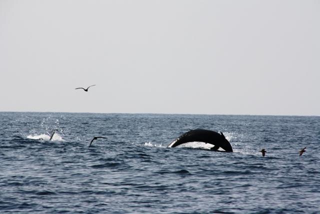 Wieloryby - Oman - Salalah - Morze Arabskie - wyprawy wędkarskie - www.przewodnicywedkarscy.pl