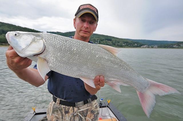 Piękny boleń - www.przewodnicywedkarscy.pl - Wyprawy na ryby