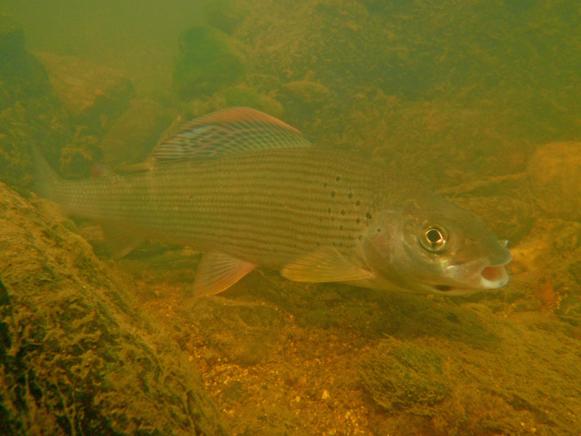 Lipień - Bóbr - www.przewodnicywedkarscy.pl - Wyprawy na ryby